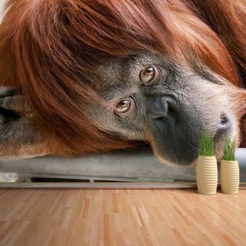 Fotomural - Orangutan