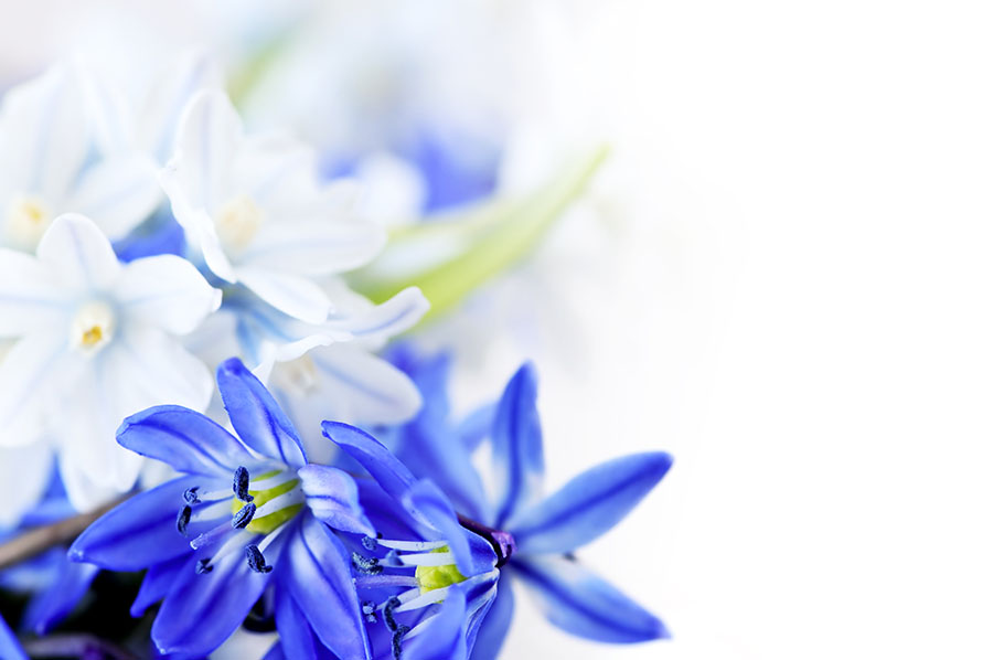 Fotomural - Flores azules
